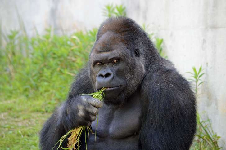 gorilla-eating-grass